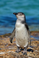 A young African penguin (Spheniscus demersus) on coastal rocks, Western Cape, South Africa
