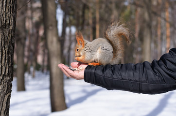 Squirrel eating nuts from man hand