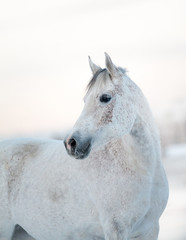 beautiful white horse in winter