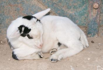 Cucciola di capra si riposa