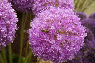 Allium flowers background