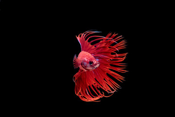 Siam Fighting Fish on white background.