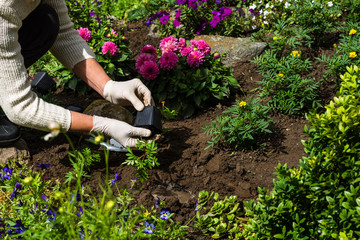 Aluminium Prints Garden Woman is planting marigold (Tagetes) seedlings in the flower garden, horticulture and the flower planting concept