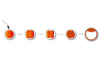 egg division