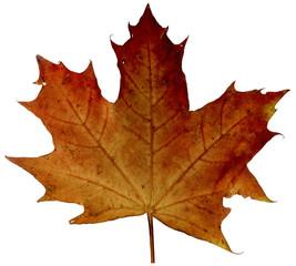 Herbstblatt Ahorn