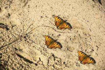 Three butterflies on the sand.