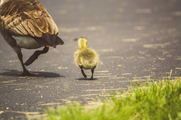 Baby goose walking behind mother goose near grass