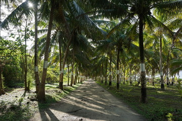 Shaded track lined by coconut palm trees on the north of Huahine Nui island, Maeva, French Polynesia