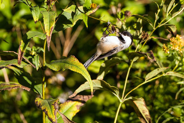 Black-capped Chickadee hangs from a seed head in autumn