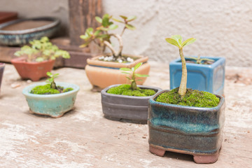 Trees in small pots on the table