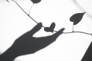 The shadow of the heart-shaped leaves and hand