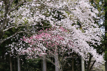 Cherryblossom Japan