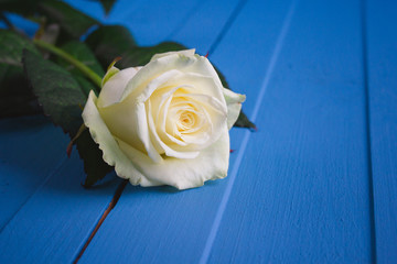 White rose on a blue background