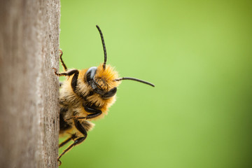 Spoed Fotobehang Bee Peek-a-boo bee close up