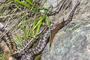 Common European viper