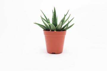 Poster Cactus Cactus White background