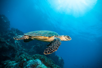 Hawksbill Sea Turtle in Indian ocean