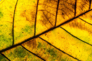 Green leaf background texture Close up ( cassia fistula)