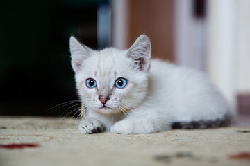 Grey kitten with blue eyes hunting and ready to pounce