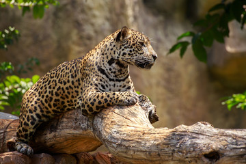 Jaguar on a branch.