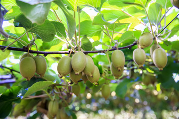 Kiwis growing in large orchard in New Zealand. Kerikeri