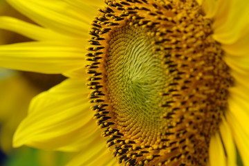 Closed up of Sunflower