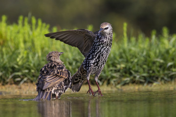 Starling in the pond
