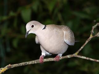 Close up of a Collard Dove