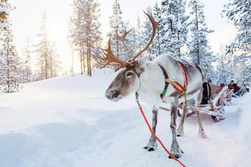 Reindeer safari