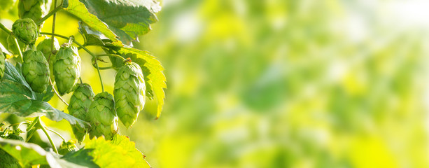 Hop plant, bokeh background