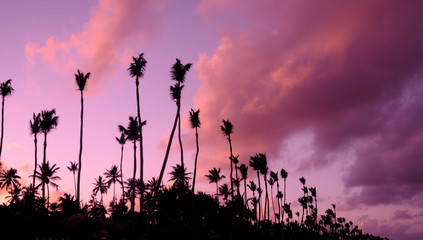 palm trees in front of purple sunset