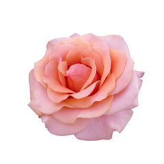 beautiful beige rose