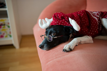 Cute black-and-white dog in suit of reindeer lays on a red sofa