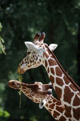 Netzgiraffe, Giraffa camelopardalis reticulata, Fellzeichnung