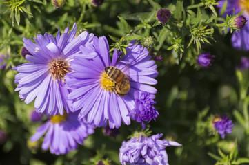 Honigbiene auf violetter Blume