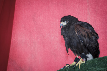 Retrato del águila Harrier aislado en el fondo desenfocado. Primer plano de águila Harrier. Águila de caza. Águila posando. Fondo de pantalla.