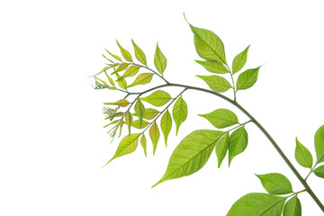 Close up of green leaves on white background isolated