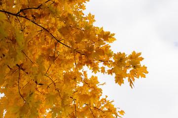 Złote liście na drzewie