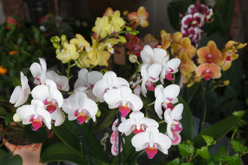 Colorful phalaenopsis orchids background
