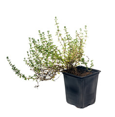 Thyme (disambiguation)  is an evergreen herb. Plant in the pot.  Isolated on white background