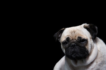 Pug Dog Black background