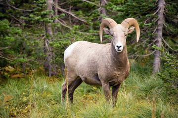 Healthy Male Bighorn Sheep Wild Animal Montana Wildlife