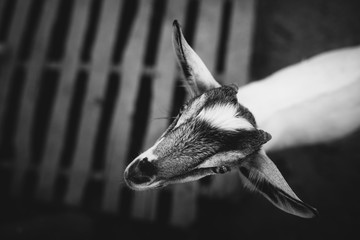Closup a goat in black and white