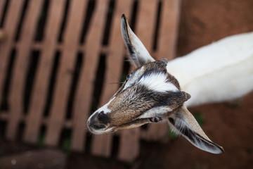 Portrait a goat.