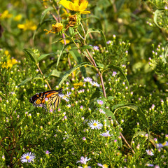 Monarch Butterfly in a blooming Illinois prairie in September