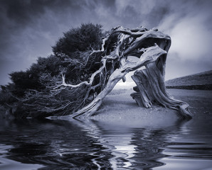 Old tree Canarian juniper with reflection in water. El Hierro. Canary Islands