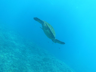 Sea Turtle Swimming to the Ocean's Surface