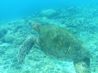 Amazing Sea Turtle Swimming