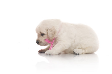 one month cute small golden retriever puppy at studio shot