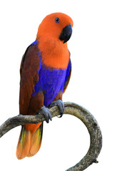 orange parrot bird